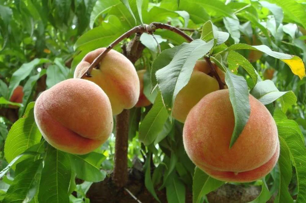 Những công dụng của quả đào với sức khỏe con người