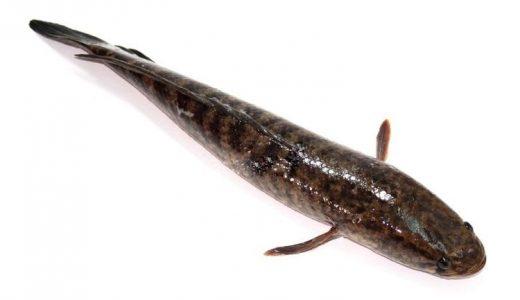 100g cá lóc chứa bao nhiêu calo? Giá trị dinh dưỡng của cá lóc