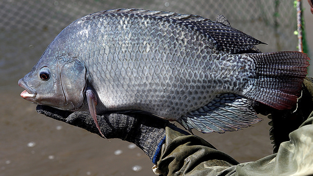 100g cá rô phi chứa bao nhiêu calo? Chúng có tốt như bạn nghĩ?