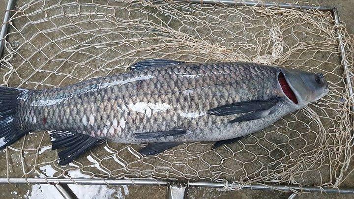 100g cá trắm chứa bao nhiêu calo?